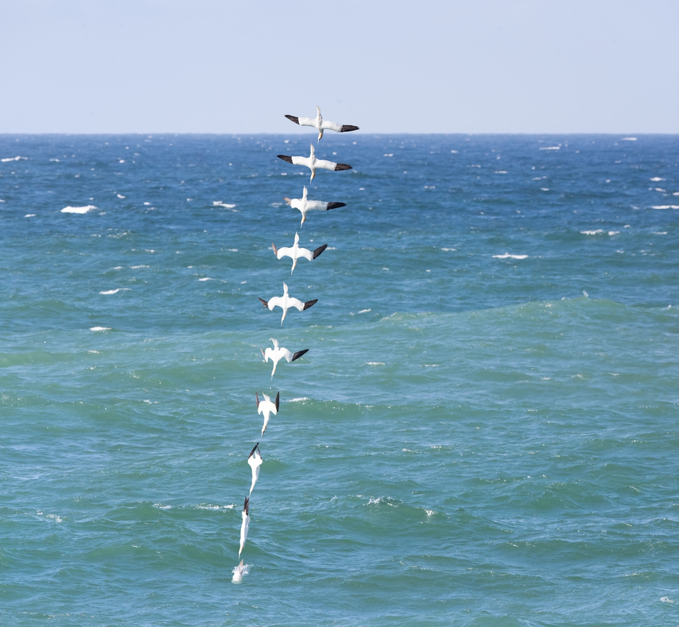 A stacked photo of a Gannet diving (copyright Denis O'Regan)