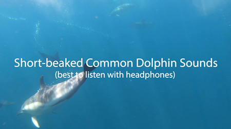 Short-beaked Common Dolphin Sounds- West Cork