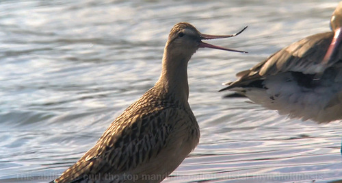 Bar-tailed Godwit showing distal rhynchokinesis