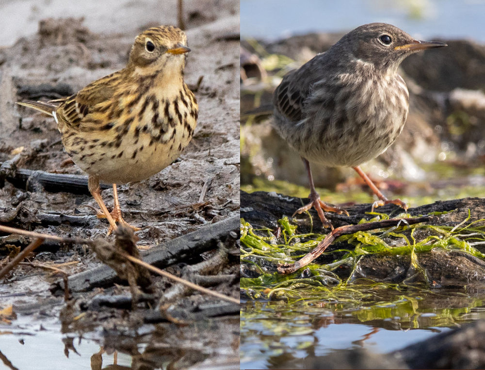 Meadow Pipit vs Rock Pipit