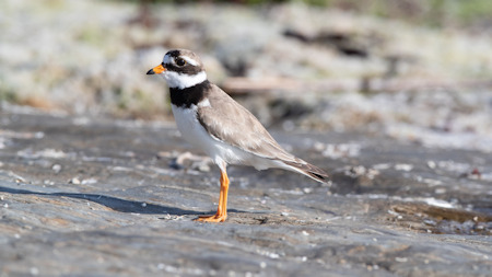 The Ringed Plover seems to risk it all